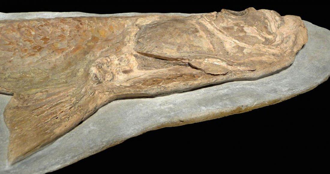 Giant Prehistoric Tarpon-like Cladocyclus fish fossil - 4