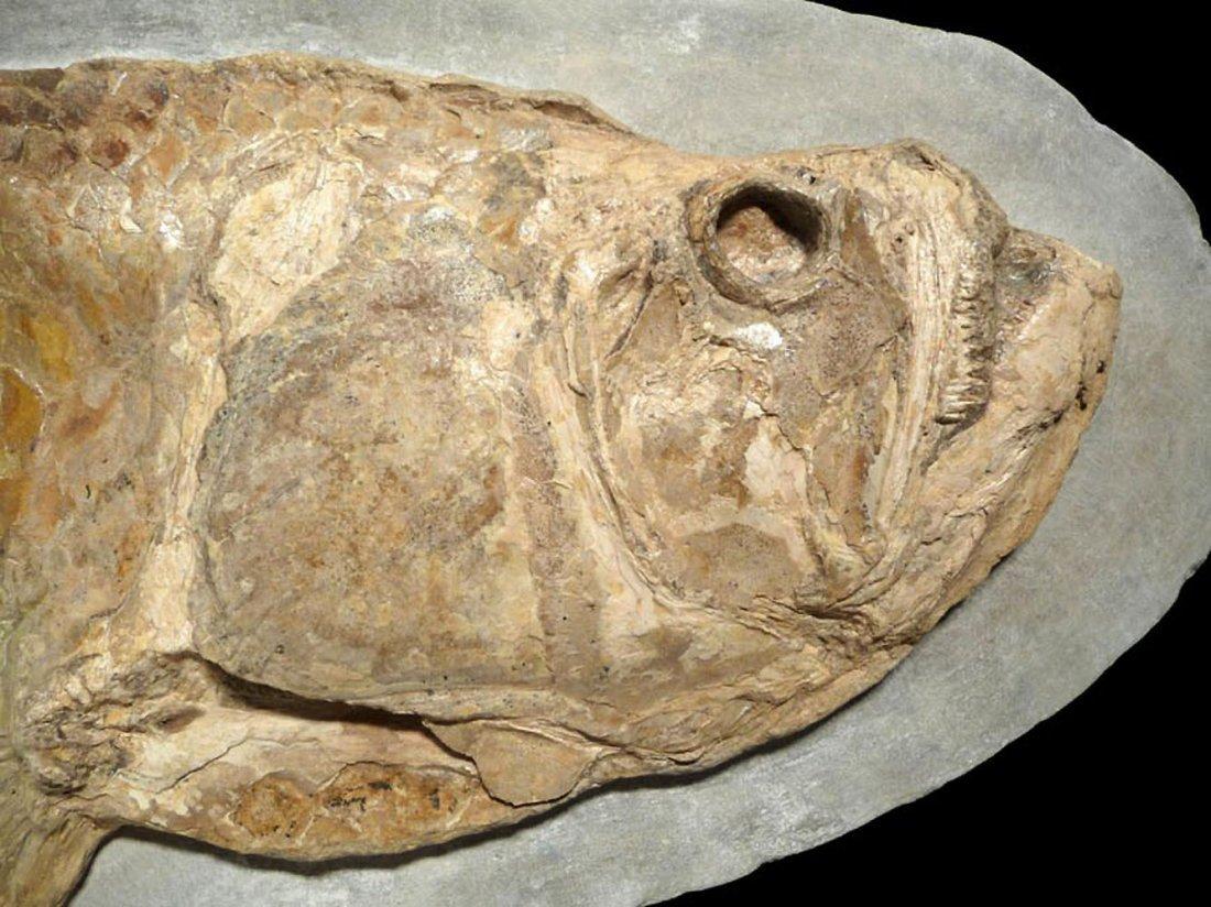 Giant Prehistoric Tarpon-like Cladocyclus fish fossil - 7