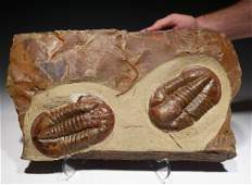 Pair of red Asaphid trilobites on colorful limestone