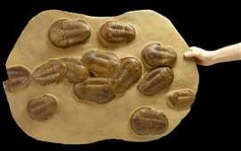 Large mass extinction fossil of Asaphus trilobites