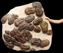 Giant mass extinction fossil with large trilobites