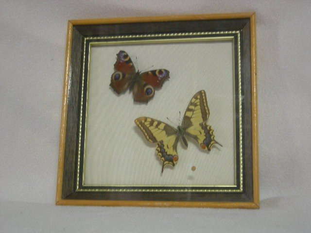 14: TWO BUTTERFLIES IN SHADOWBOX