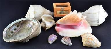 Large Abalone Conch Shells  Sea Urchin Shell