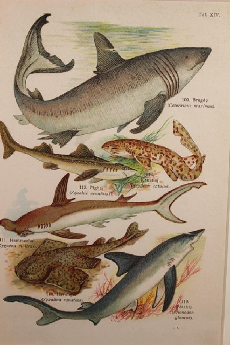 Hand Colored TAF Sharks Lithograph - 2
