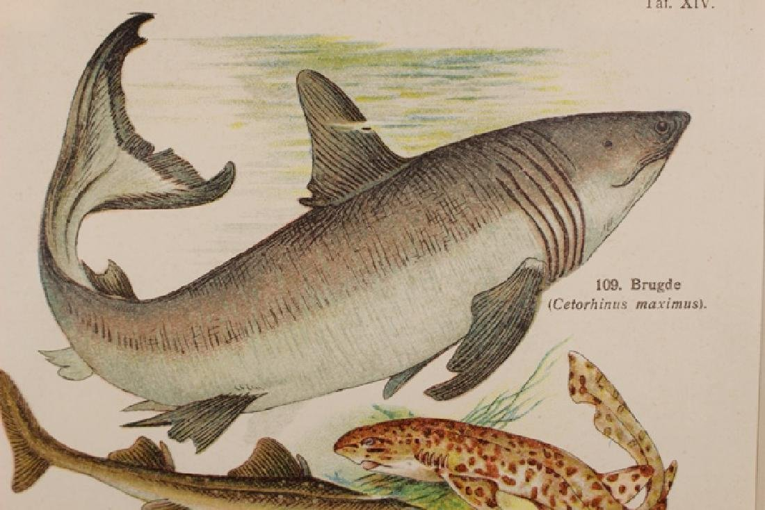 Hand Colored TAF Sharks Lithograph - 3