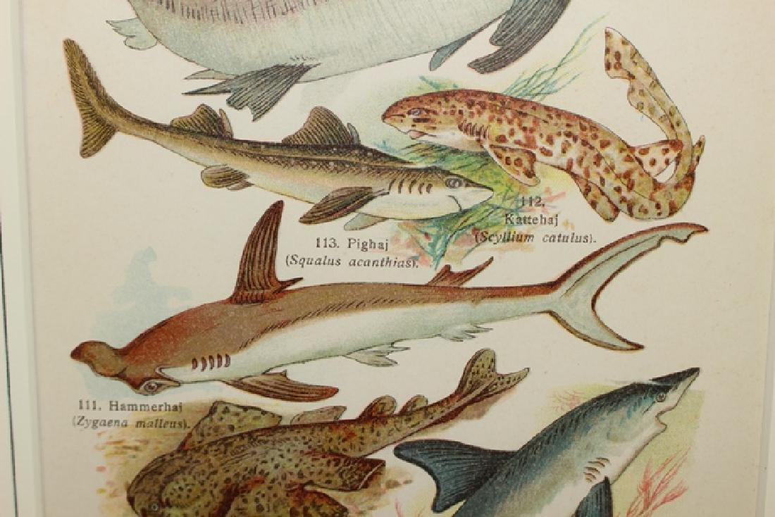 Hand Colored TAF Sharks Lithograph - 4