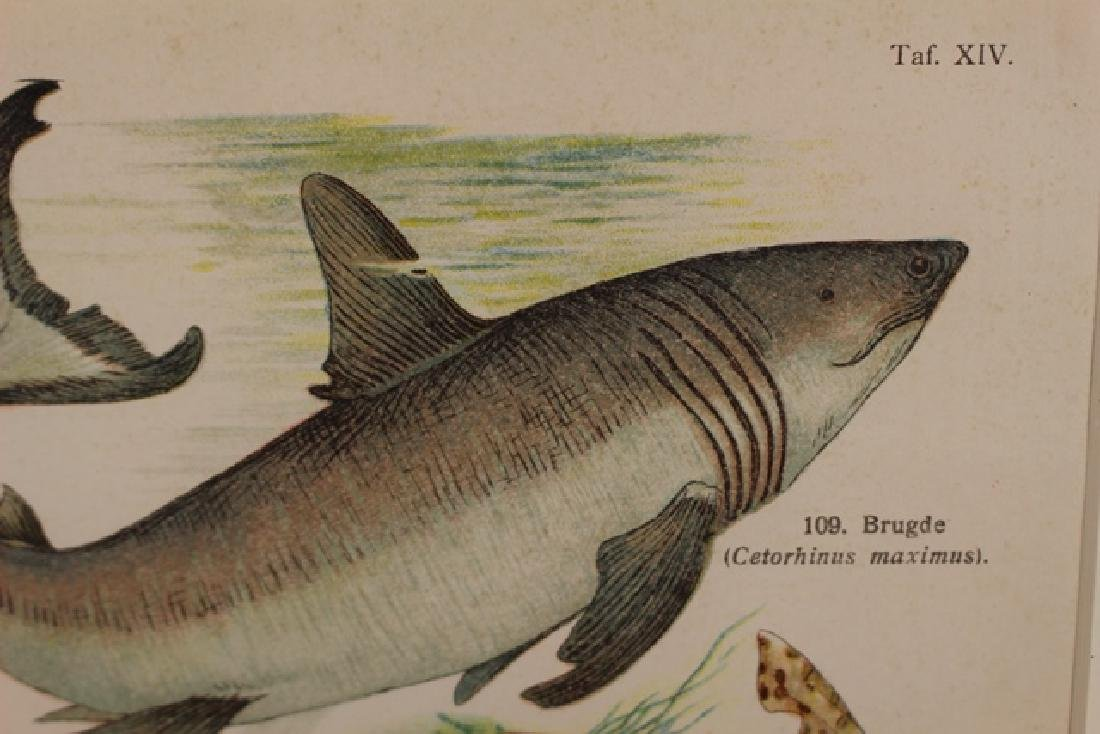 Hand Colored TAF Sharks Lithograph - 7