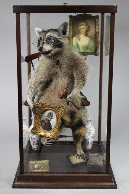 UNUSUAL Taxidermy Raccoon in Case
