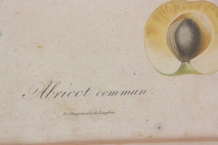 2 De l'Imprimerie de Langlois Botanical Prints - 2