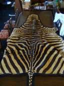 33343: 33343: Vintage Zebra Hide Carpet from Africa c 1