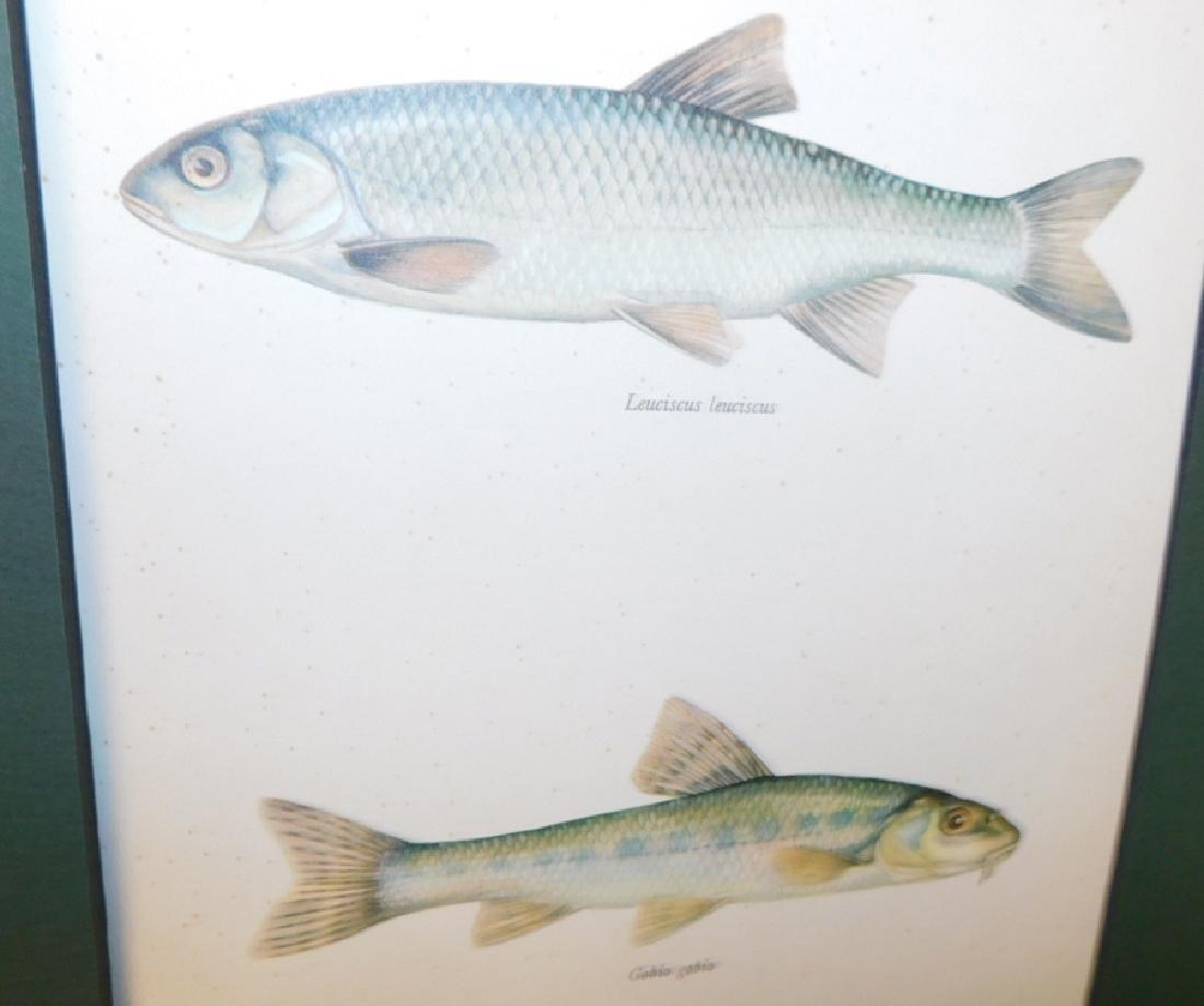 Lot 20 Matted Fish Prints - 6