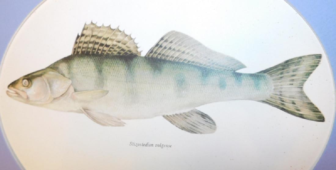 Lot 20 Matted Fish Prints - 7