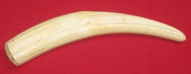 22: Mid 20th Century Walrus Tusk