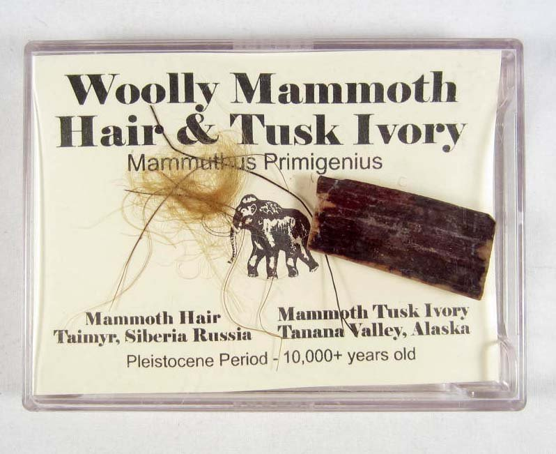 21: WOOLY MAMMOTH HAIR AND TUSK IVORY DISPLAY