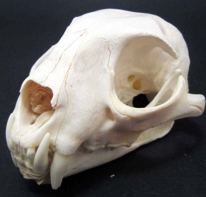 BOBCAT SKULL TAXIDERMY - XL