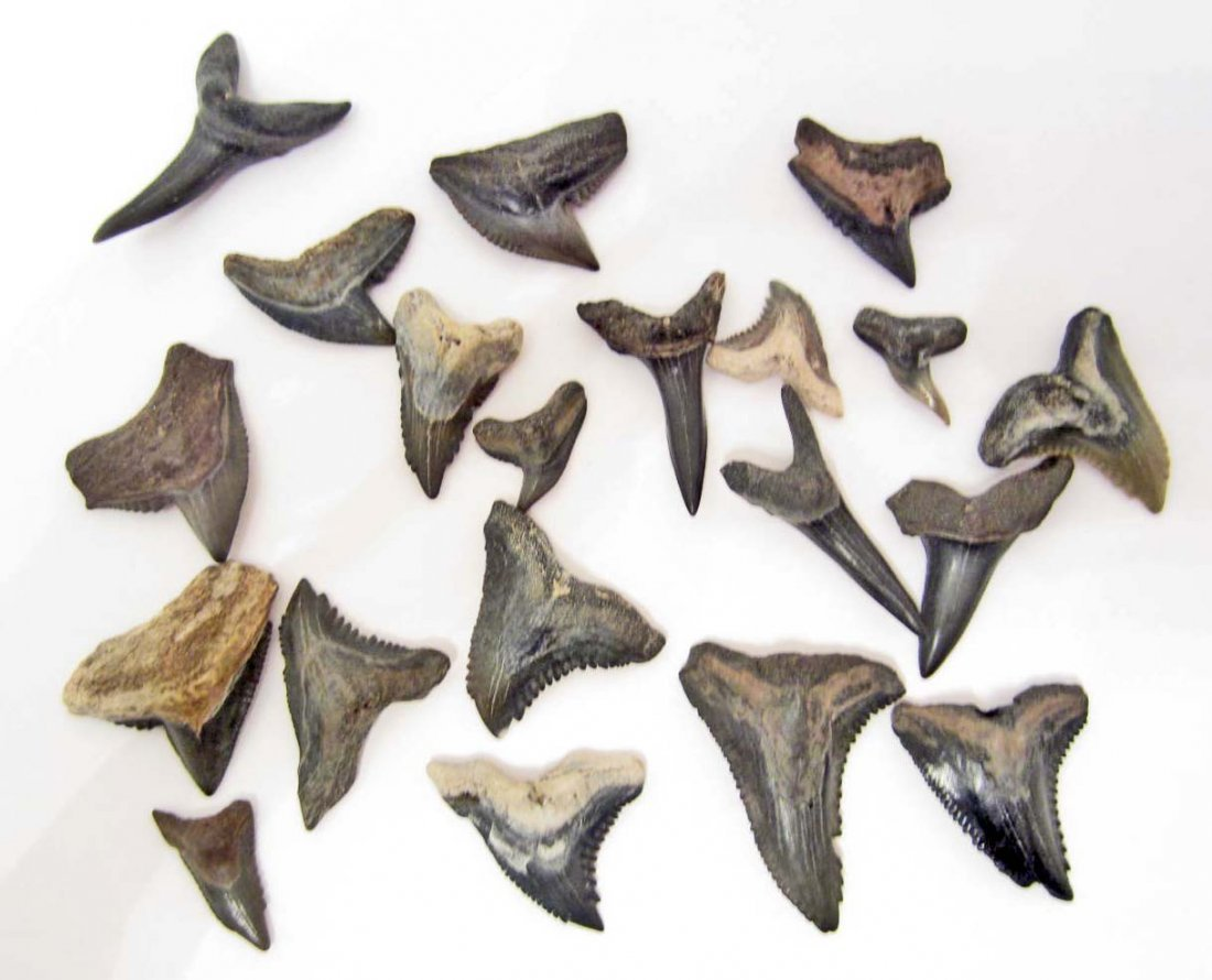 LOT OF APPROX. 20 MEGALODON ERA FOSSILIZED SHARK TEETH
