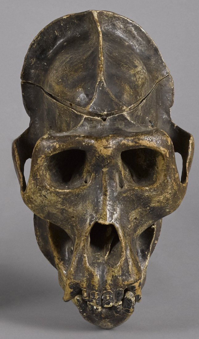 French composition gorilla skull model, dated 1