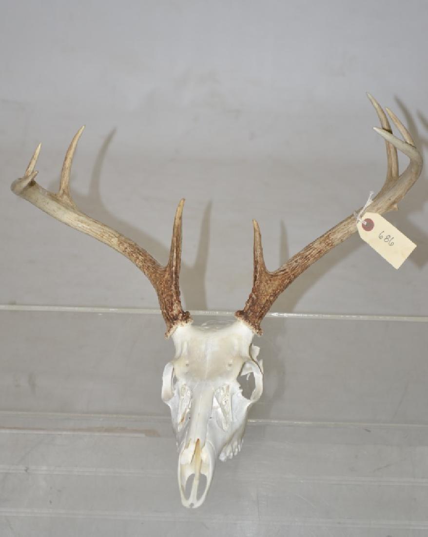 8 Point Deer Skull