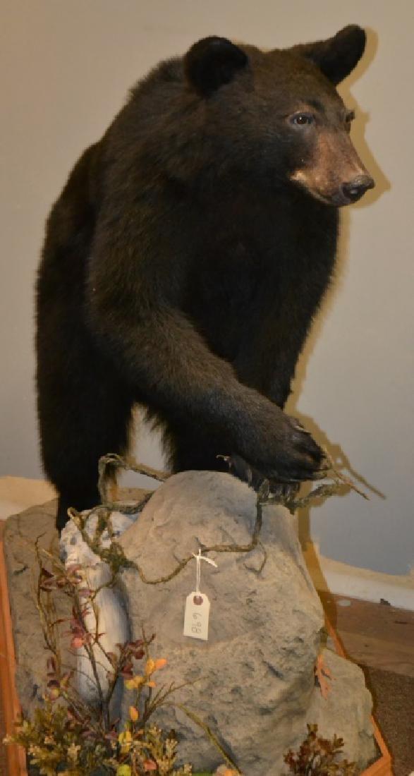 Full Body Black Bear Mount