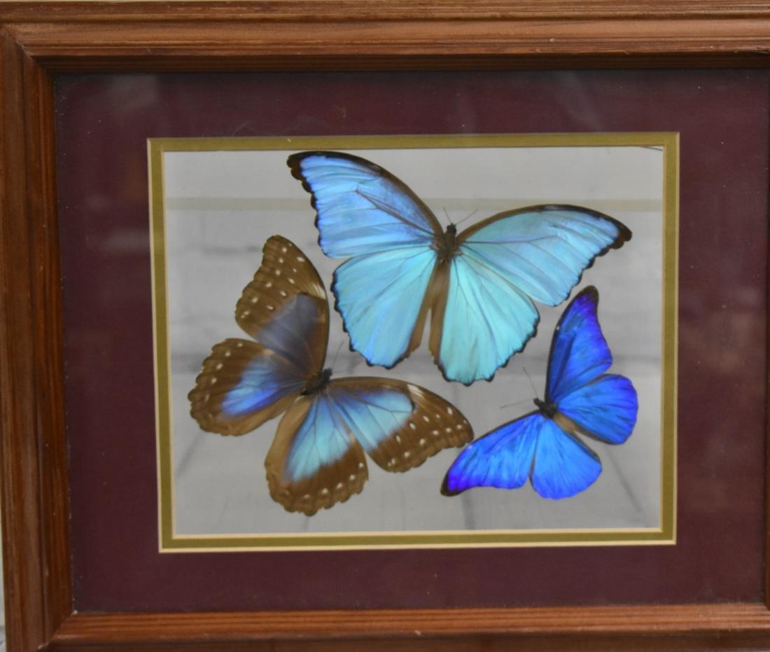 Three Framed Peruvian Butterflies