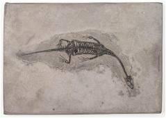 """Keichosaurus (Lizard) Fossil / """"Baby Dragon"""""""
