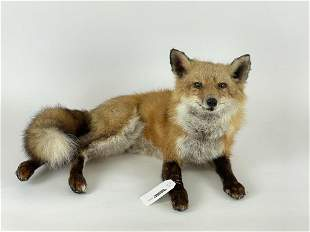 Red Fox in the Sitting Position