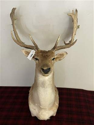 Spotted Fallow Deer Contemporary Mount
