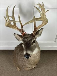 Trophy Whitetail Buck Shoulder Mount