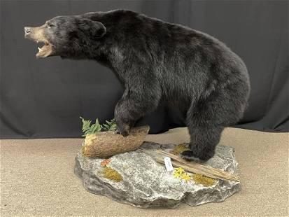 Full Body Black Bear Taxidermy Mount