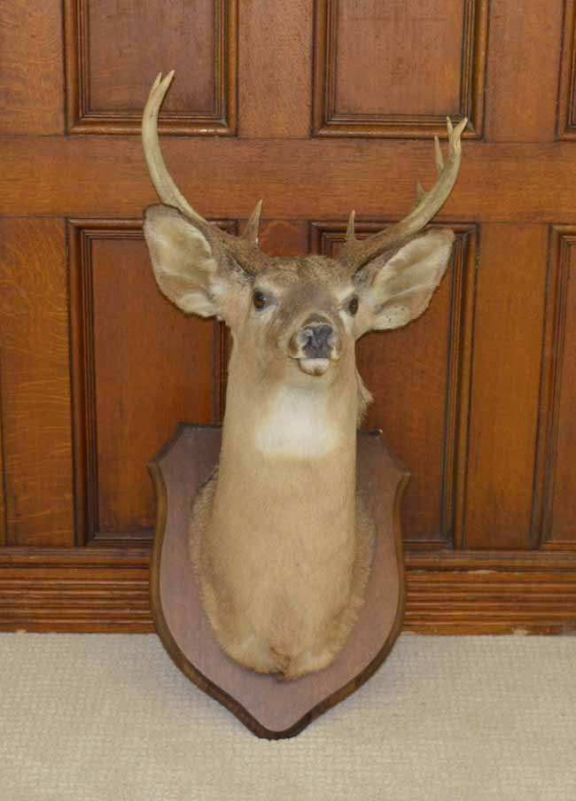 10 Point Whitetail Deer Mount on Walnut Placque