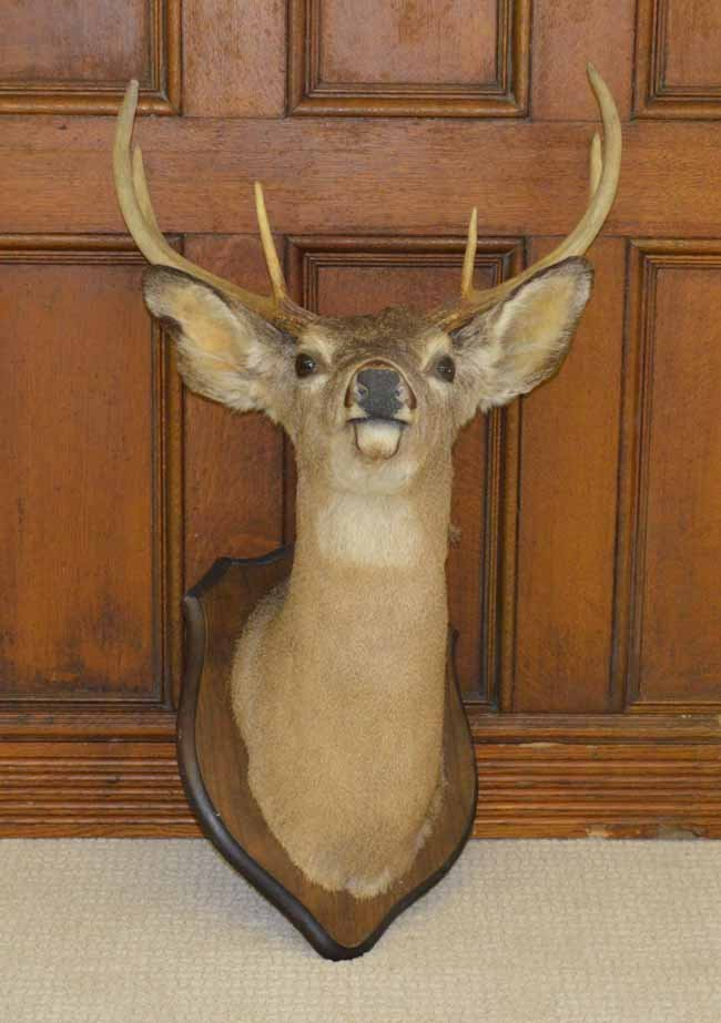 6 Point Whitetail Deer Mount on Walnut Placque