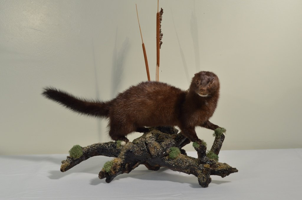 Mounted Mink