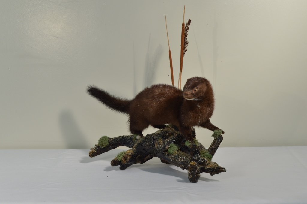 Mounted Mink - 2