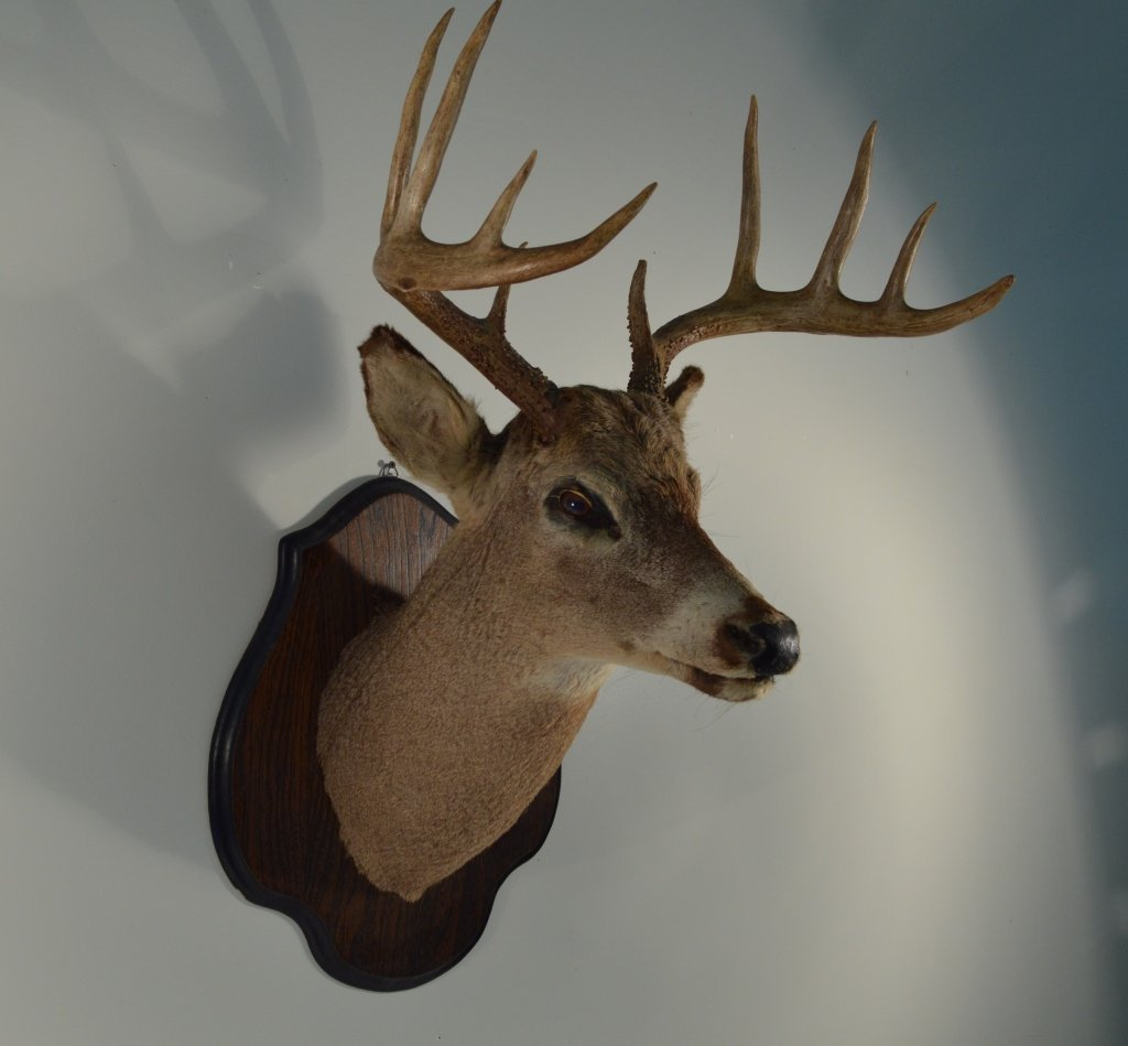 10pt Whitetail Buck on an Oak Shield Placque - 2