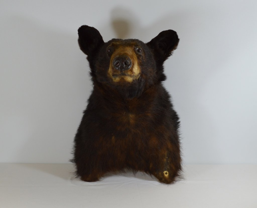 Mounted Black Bear Head