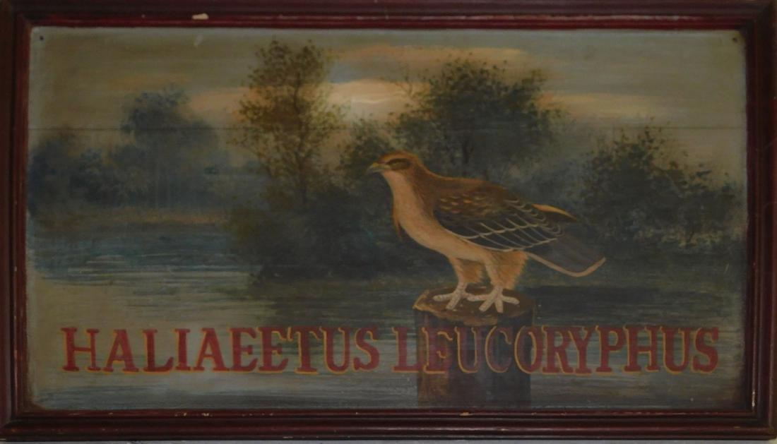 Haliaeetus Leucoryphus (Pallas Fish Eagle)