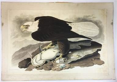 ca 1830's John James Audubon Plate # 31