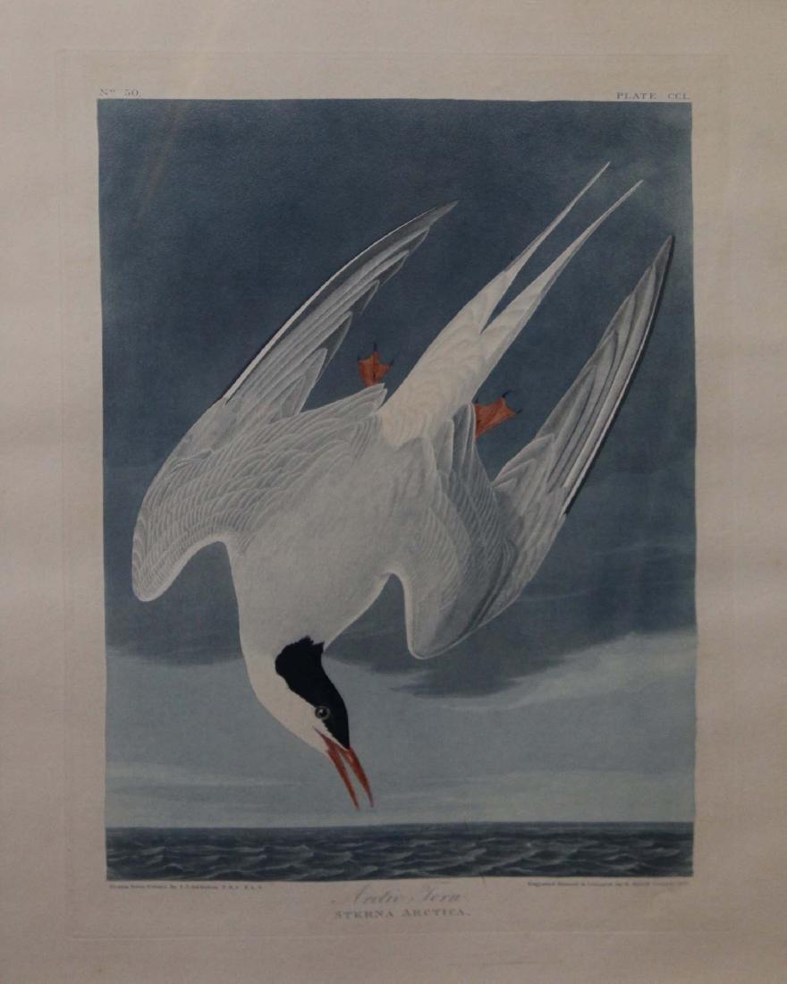 John James Audubon- Arctic Tern
