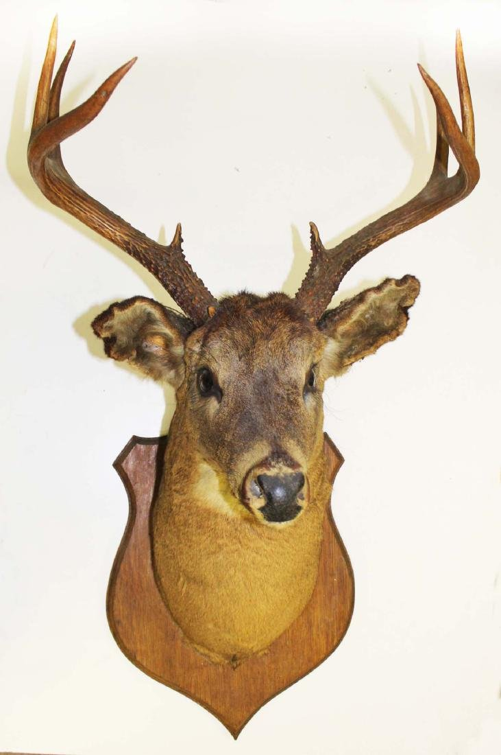Circa 1900 Adirondack whitetail mount