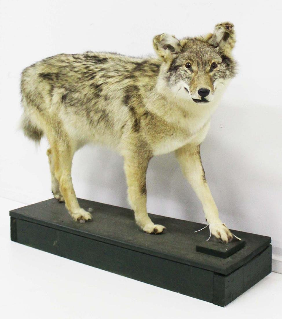 Full body coyote mount