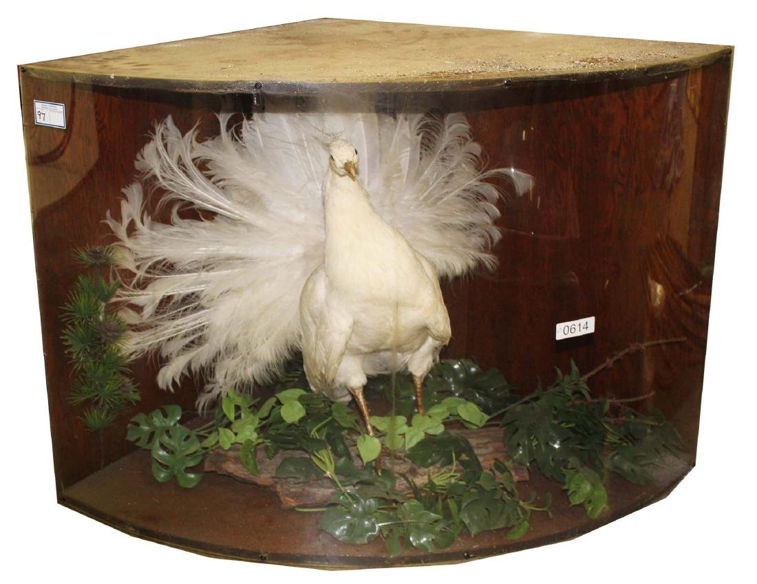 White peacock mount early 20th c. - 2