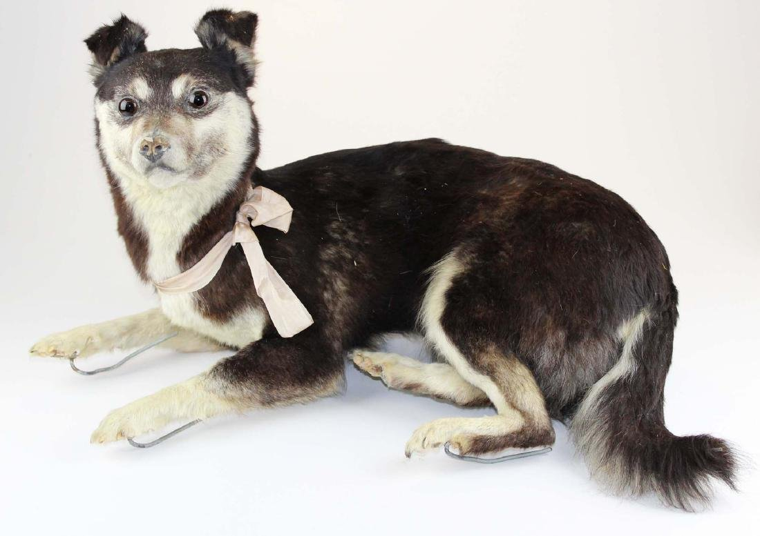 Dog taxidermy mount