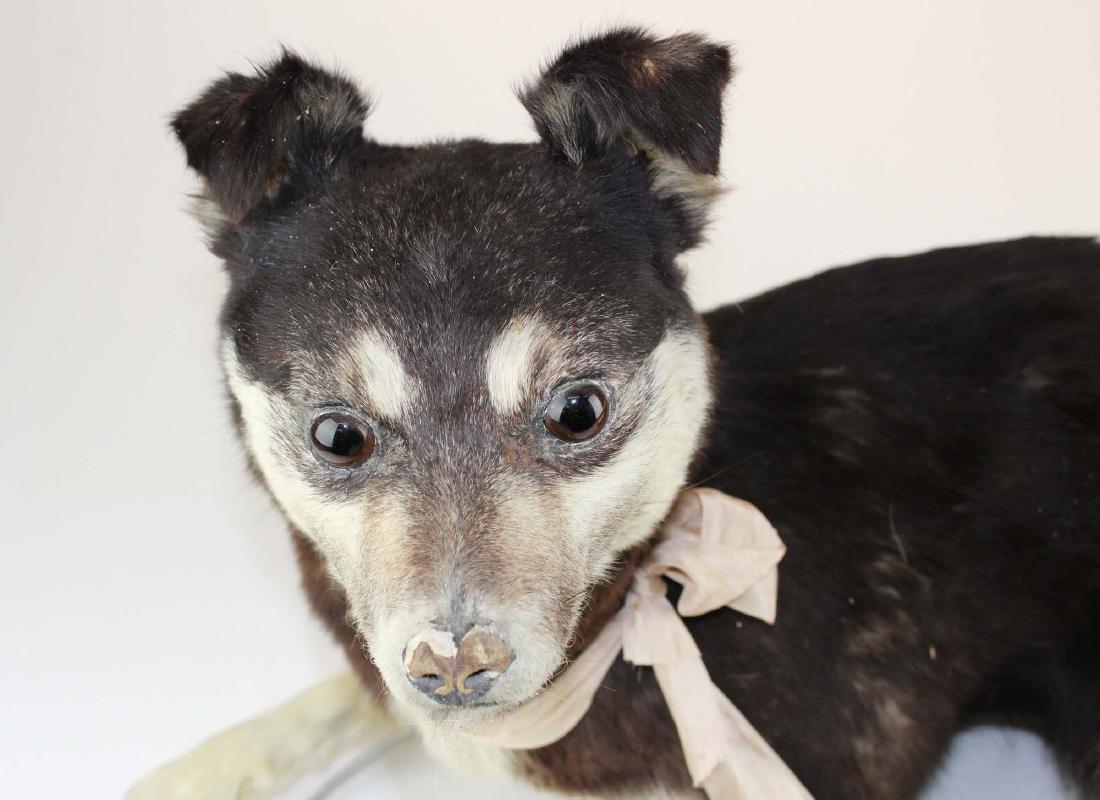 Dog taxidermy mount - 2