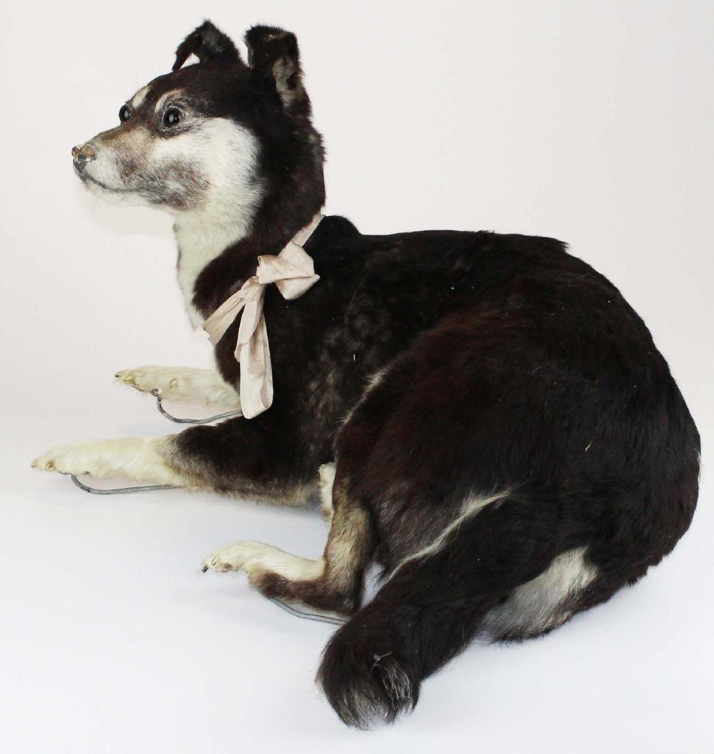 Dog taxidermy mount - 3