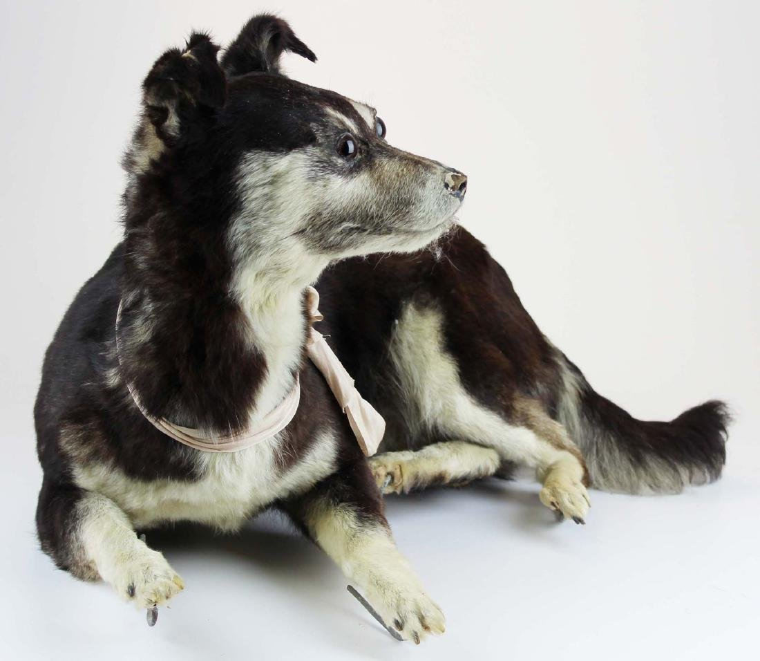 Dog taxidermy mount - 5