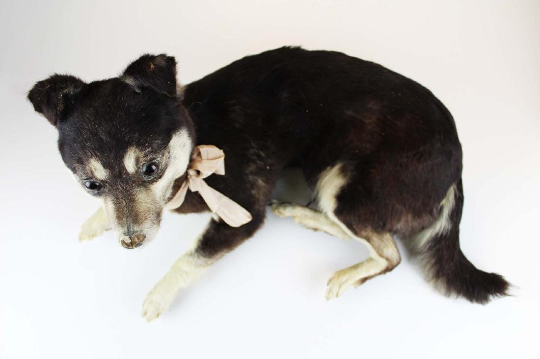Dog taxidermy mount - 6