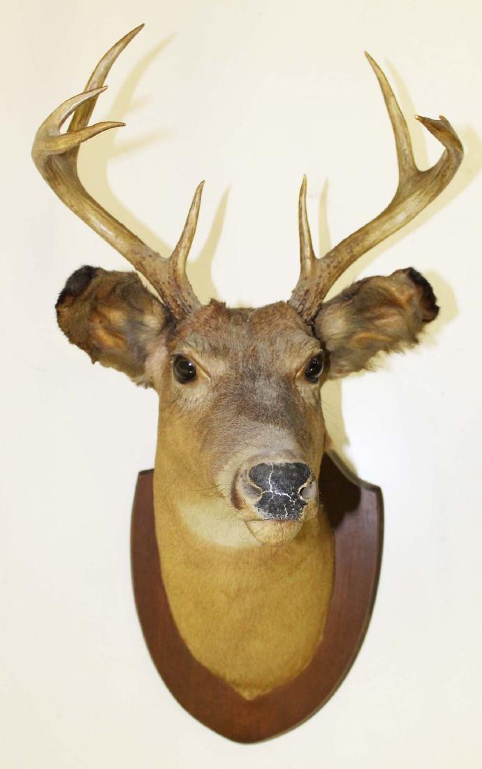 Whitetail deer 8 pt mid 20th c shoulder  mount
