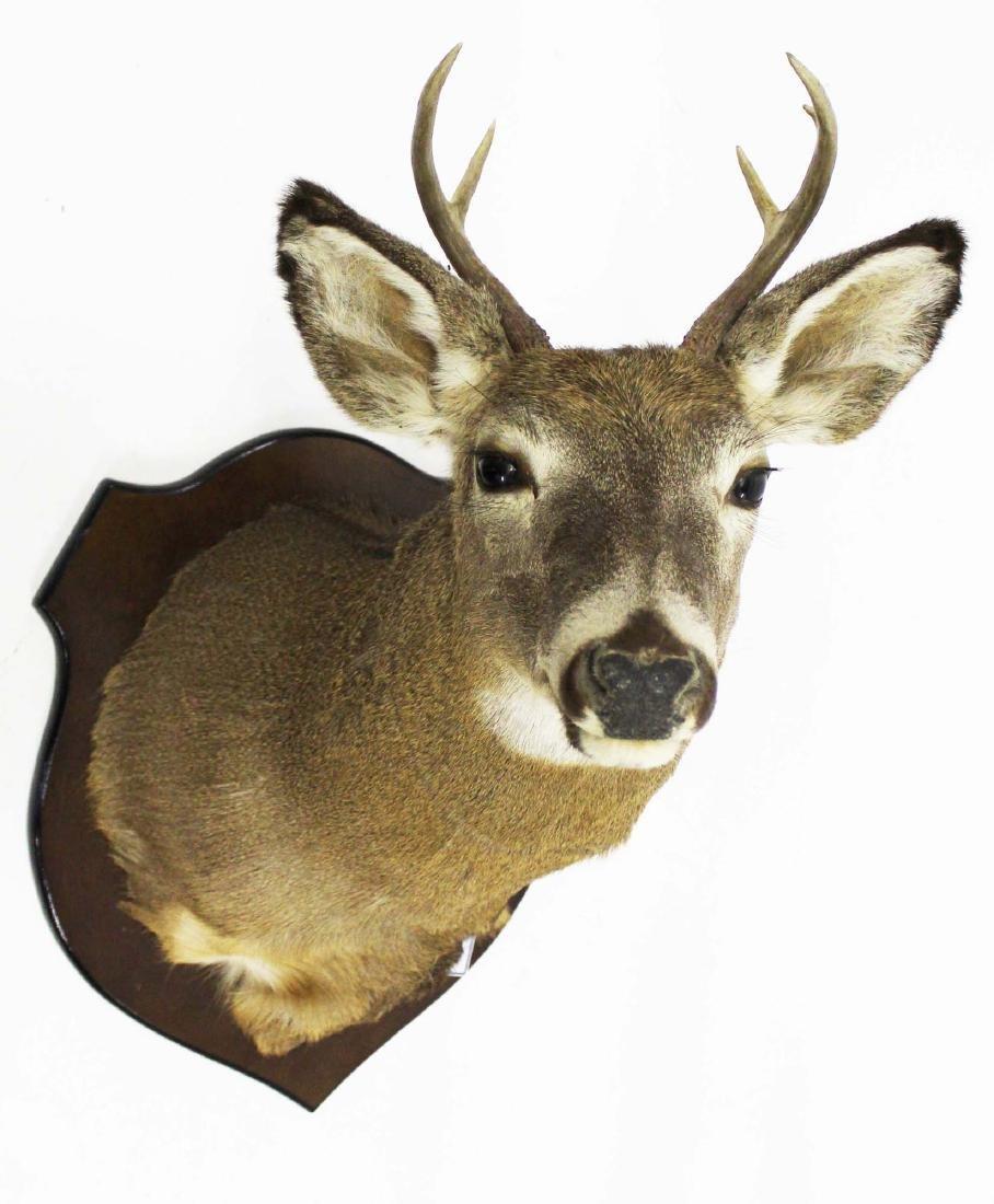 Whitetail deer 5 pt late 20th c shoulder mount
