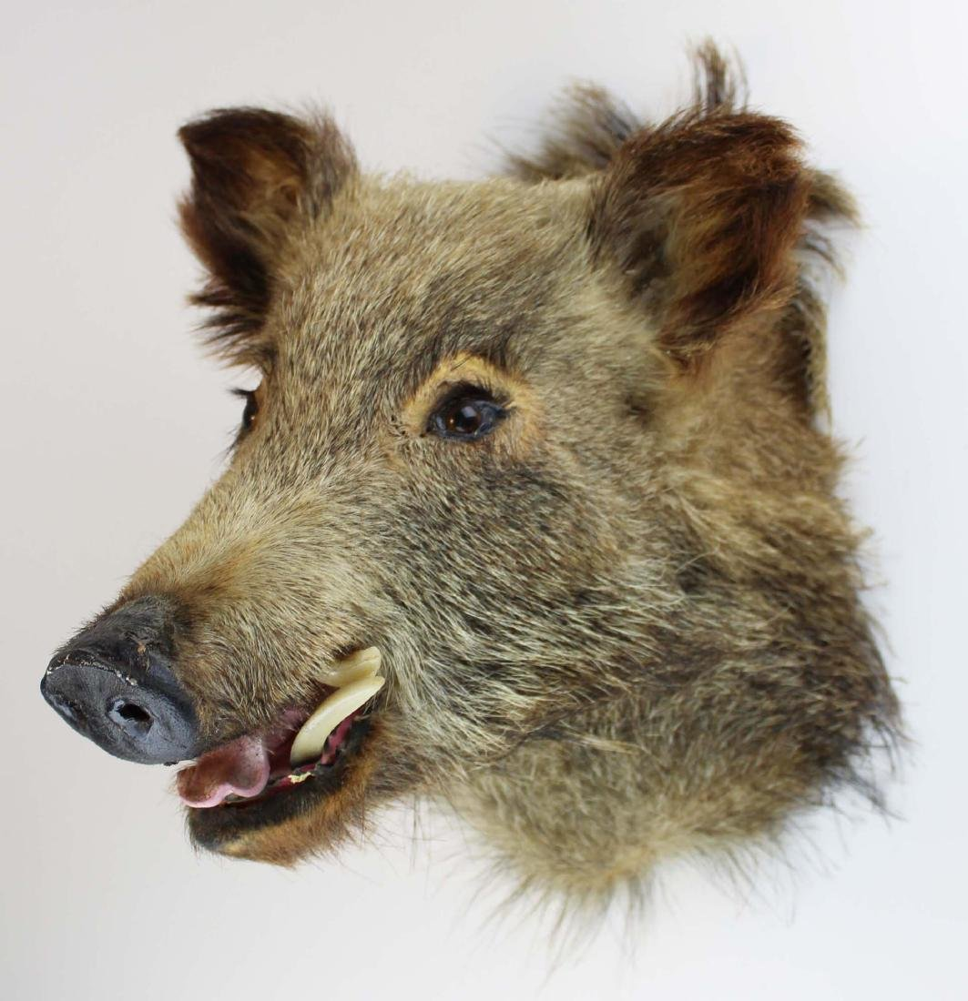 Boar head shoulder mount - 2