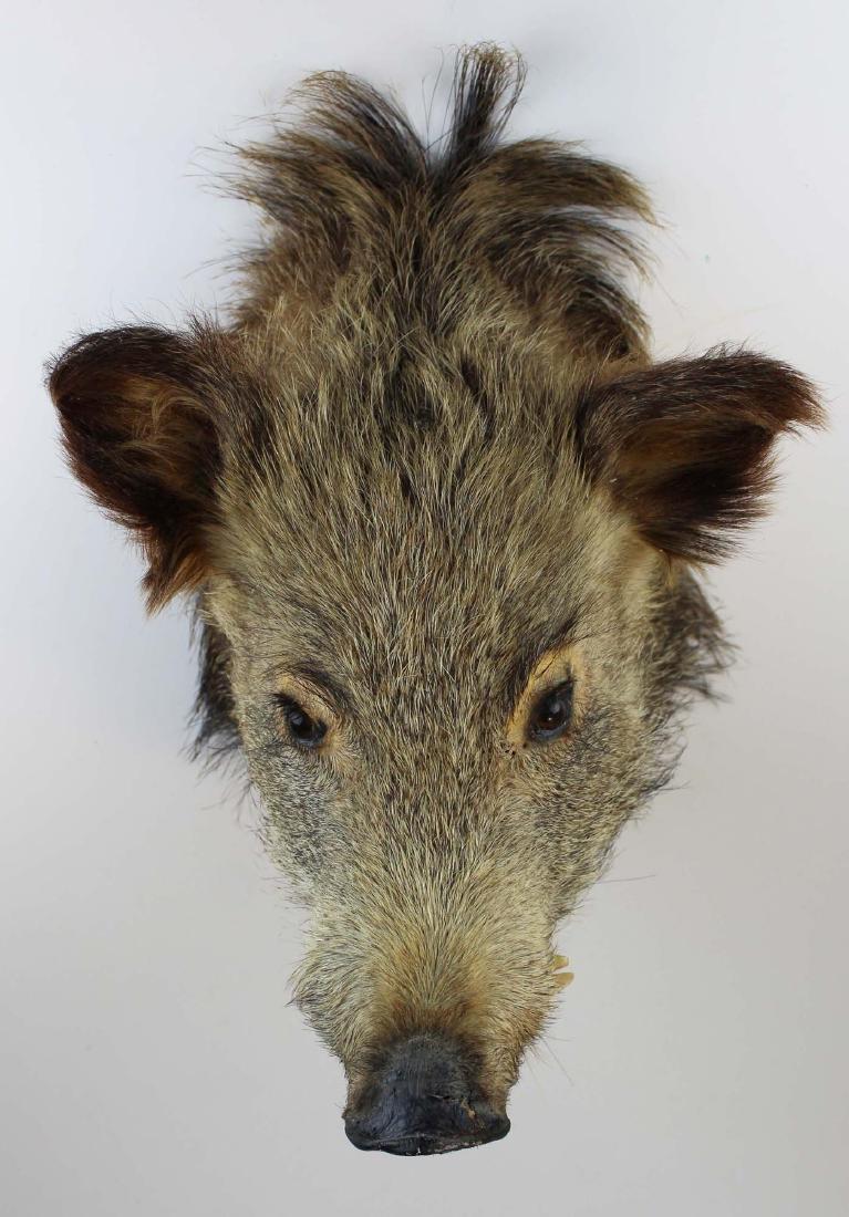 Boar head shoulder mount - 3